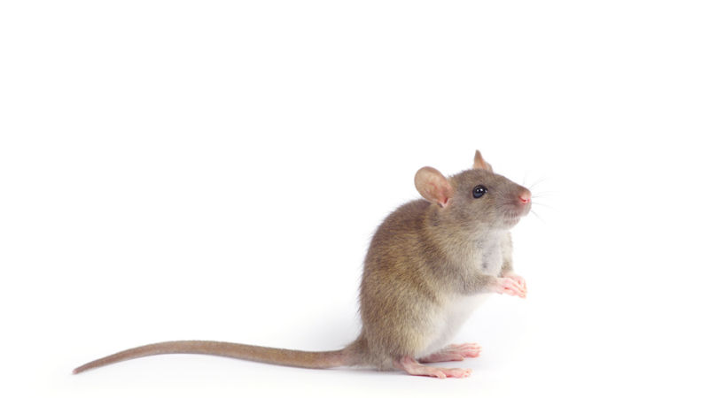 Good luck killing a mouse ever again, now that researchers from North ...