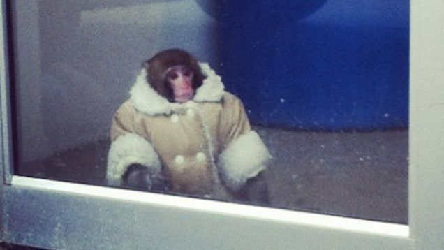 Shearling Coat-Wearing Monkey Found Wandering Around Canadian Ikea