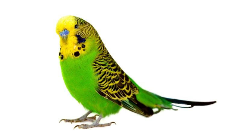 Image result for parakeet