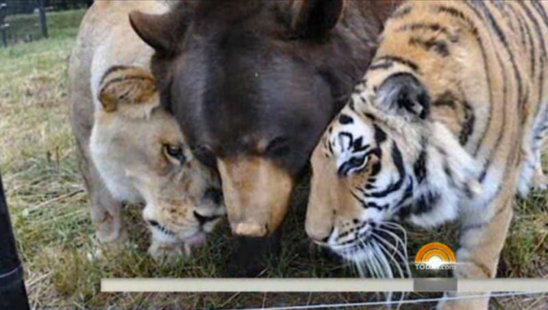 Lion, Tiger, and Bear Are Best Friends Forever