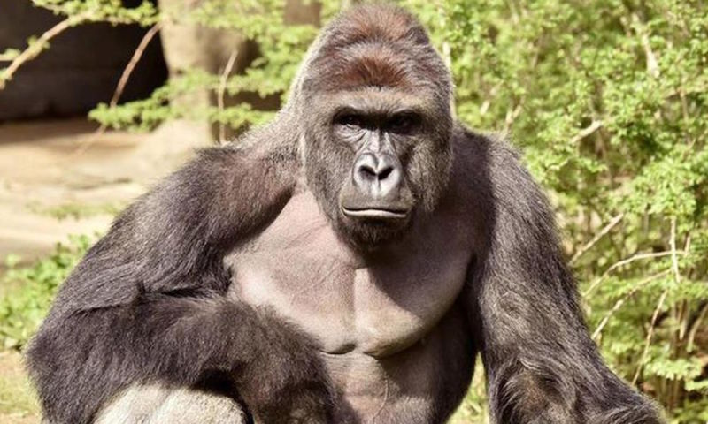 Poll Five Percent Of Americans Would Vote Harambe The Dead Ape For President