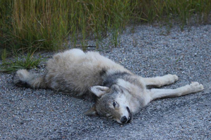 Sick wolf