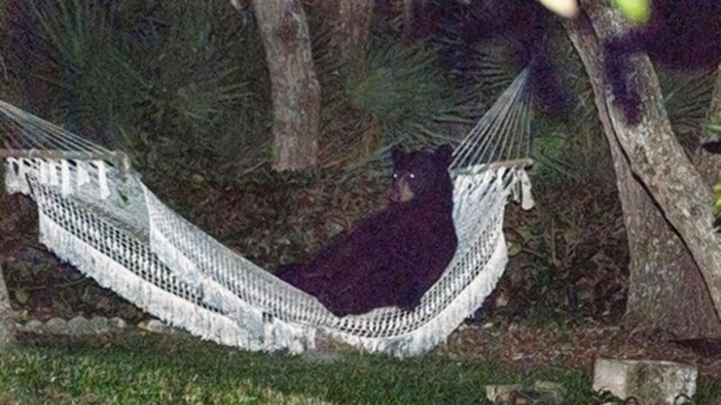Florida Bear Lounges in Hammock, Stays There for 20 Minutes