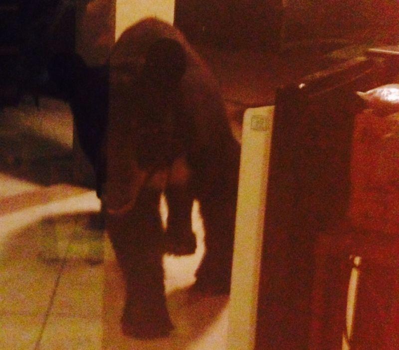 bear breaks into house
