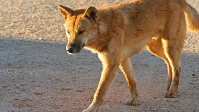 turns out a dingo really did eat that lady s baby updated