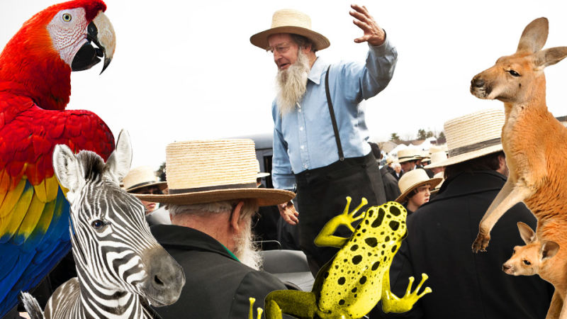 Amazing Amish Auction Features Zebras, Camels, People in Bonnets