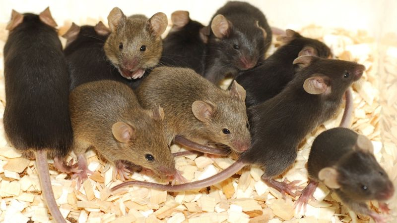 Mice Found Nibbling Dementia Patient's Face in Nursing Home