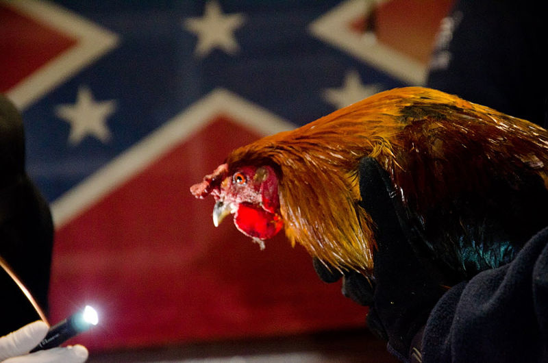 Angry Cockfighters in Kentucky Vow to